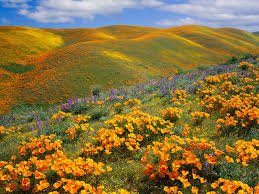 Calif mt poppies