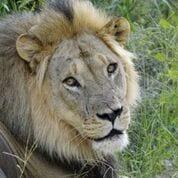 lion - ADVENTURE OF A LIFETIME
