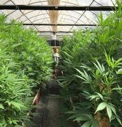 SCNA greenhouse cannabis - WEALTH IN WEED