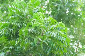 The neem tree and its sweet leaves are used as a natural medicine for both healing and preventative purposes.