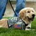 Cadence, a  four month old service dog in training, meets with Secretary of Defense Leon E. Panetta and his dog, Bravo, at the Pentagon, May 23, 2012. Cadence is a member of the Warrior Transition Brigade Service Dog Training Program which was created to meet the needs of service members and veterans with psychological and physical injuries. DoD photo by Erin A. Kirk-Cuomo (Released)
